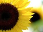 Sunflower-59-F2FZ427GG1-1024x768